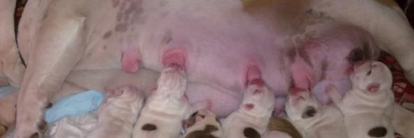 Щенки  английского бульдога родились / New born puppies