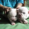 Щенки  английского бульдога, возраст 14 дней / Puppies 14 days old