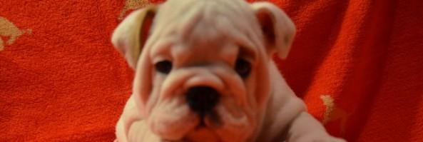 Щенки  английского бульдога, возраст 1,5 месяца / Puppies are 7 weeks old