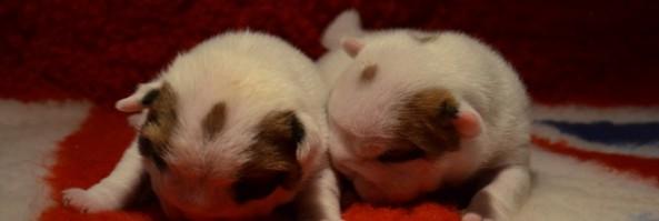 Щенки родились 23.04.13 — мальчик и девочка