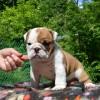Продаются щенки английского бульдога / Bulldog puppy for sale