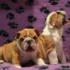 Продаются щенки английского бульдога / Bulldog puppies for sale