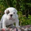 Продается щенок бульдога, девочка / Bulldog puppy — girl for sale