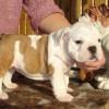 12.04.15   Продаются щенки английского бульдога / Bulldog Puppies for sale