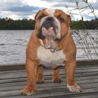 Bulldog Pointequilibrio Harrison Harley