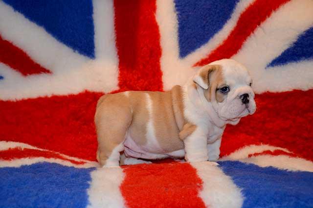 Продаются щенки английского бульдога.